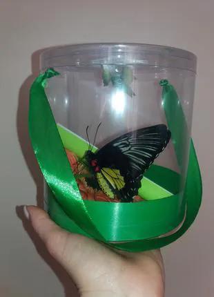 Бабочкарий + живая бабочка = 2 в 1