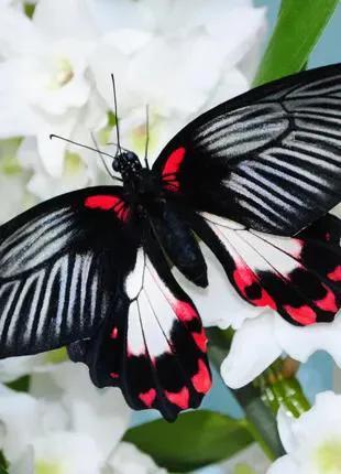 Живая бабочка Румянцева