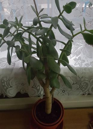Цветы толстянка, денежное дерево