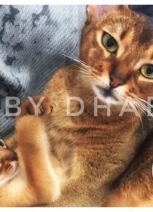 Продажа абиссинских котят шоу класса (Питомник ABY Dhabi) Киев