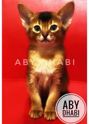 Абиссинские котята выставочного класса (Питомник ABY Dhabi)