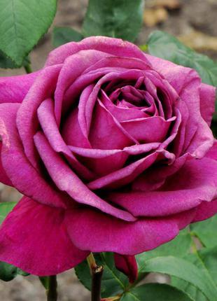 Саженцы роз( красные, белые, розовые, кремовые и многие другие)