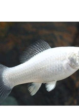 Молінезія сніжинка рибка акваріумна