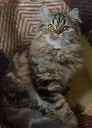 Черный мраморный подрощенный котенок, яркий и задорный. Самый неж