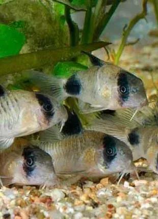 Сомики панда рибка акваріумна