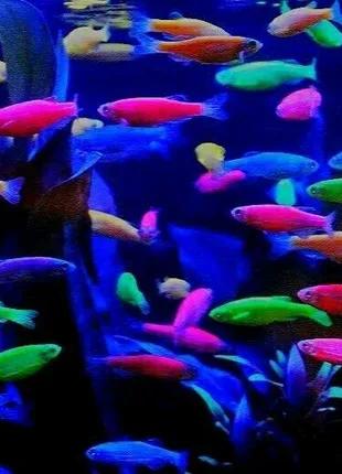 Даніо гло рибка акваріумна