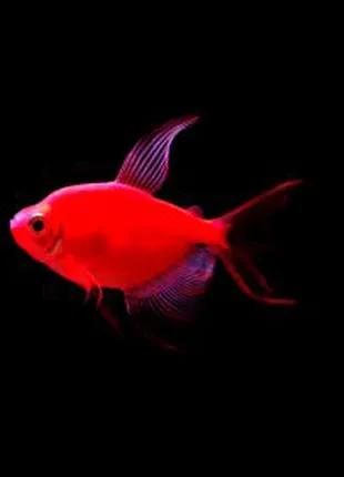 Тернеція гло червона рибка акваріумна