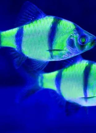 Барбус гло зелений рибка акваріумна