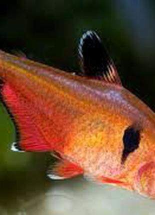 Мінор рибка акваріумна