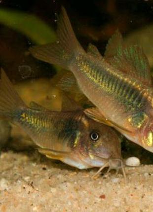 Коридорас золотий , сом крапчастий рибка акваріумна