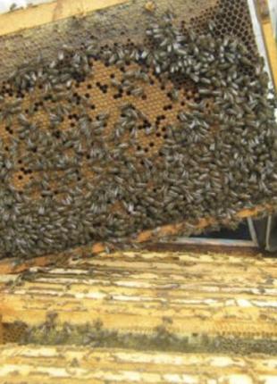 Продам 100 бджолопакетів, Хмельницький