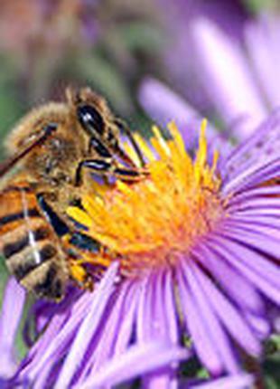 35 бджолопакетів