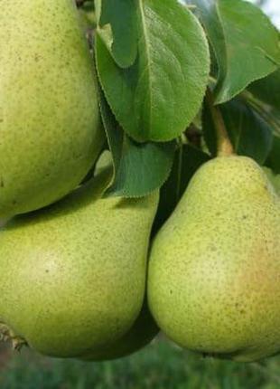 Саженцы плодовых деревьев, декоративные и плодовые растения, розы