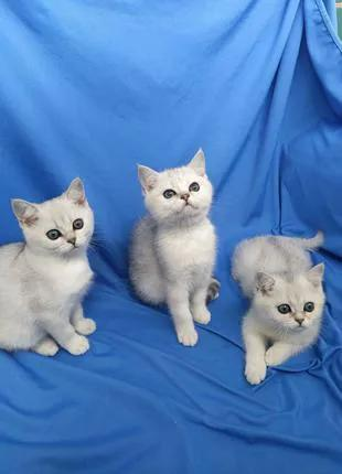 Котята британской серебристой шиншиллы
