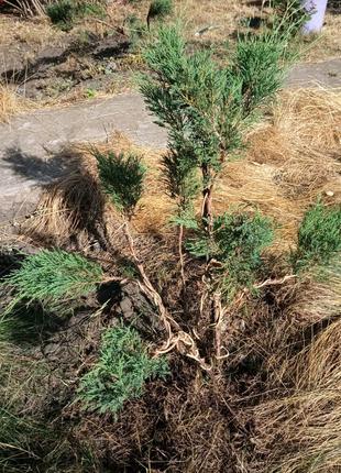 Топиарная стрижка хвойных растений