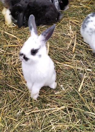 Декоративные цветные кролики/ торчеушки/вислоухий баранчикMiniLop