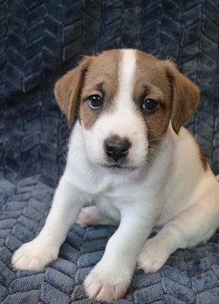 Перспективный щенок Джек Рассел терьер от чемпиона Украины