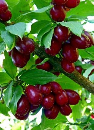 Кизил свежие ягоды