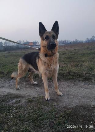 Предлагаем щенков немецкой овчарки
