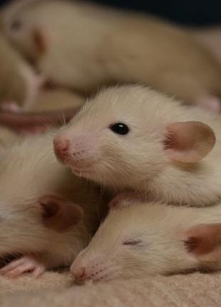 Декоративные крысы сиамы дамбо