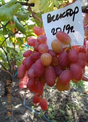 Саженец винограда Виктор