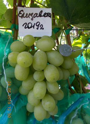 Саженец винограда Елизавета