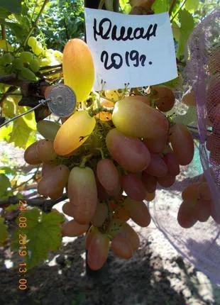 Саженец винограда Юлиан