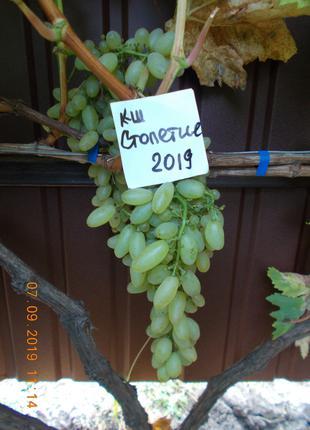 Саженец винограда кишмиш Столетие