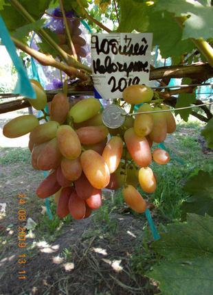 Саженец винограда Юбилей Новочеркасска