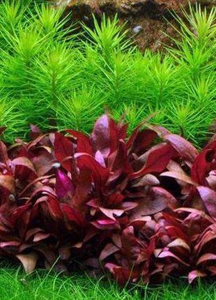 Альтернантера Мини. Растения для аквариума