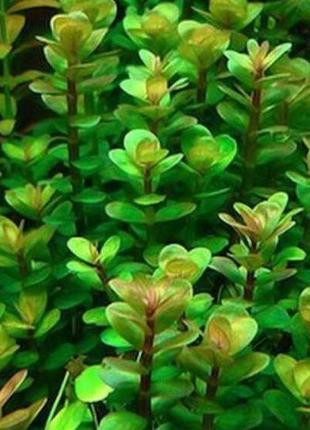 Аммания Бонсай. Аквариумные растения