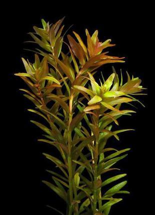Ротала индика. Аквариумные растения