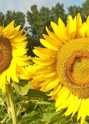 Семена подсолнечника гибрид  Фолк (А-F) под 50гр