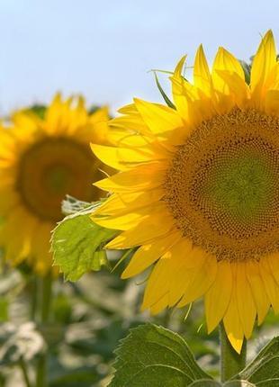 Семена подсолнечника  устойчивого к 7 расам заразихи, гибрид  ...