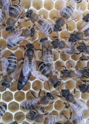 Пчелиные матки Карпатка. Плодные, меченые, высокопродуктивные