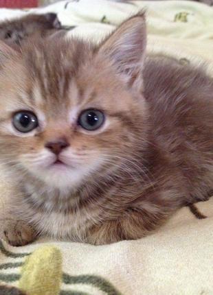 Котята шотландские прямоухие (скоттиш страйт)