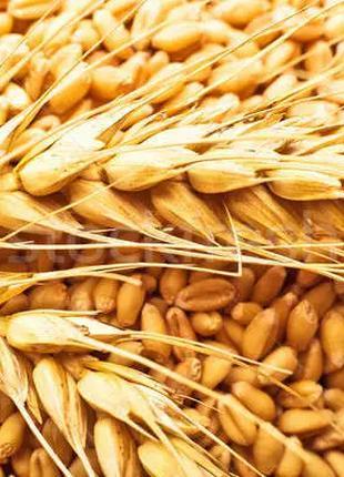 Продам зерно пшеницы 2 тонны
