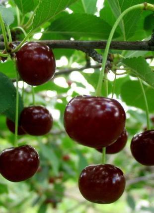 Сок с вишни 100% натуральный