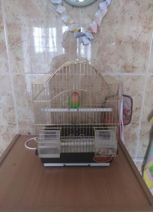 Попугай Неразлучник розовощекий. + Клетка