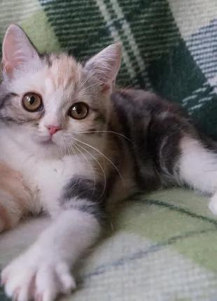 Милая скоттиш девочка в любимцы с красивым мраморным трехцветным