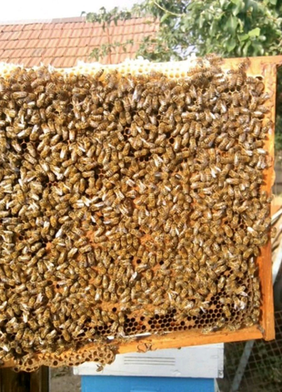 Бджолопакети Бджолосім'ї