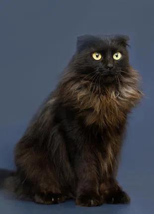 Отдам в хорошие руки молодую шотландскую кошечку Уллу