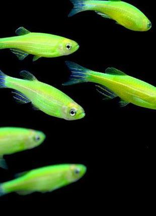 Светящиеся рыбки глофиш glofish