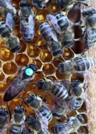 Карника. Купить пчеломатку Карника высокого качества хотите?