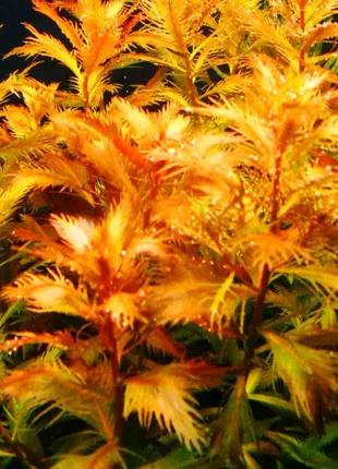 Прозерпинака палюстрис - аквариумные растения