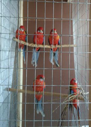 Розеллы, попугаи, восточная красная и пестрая