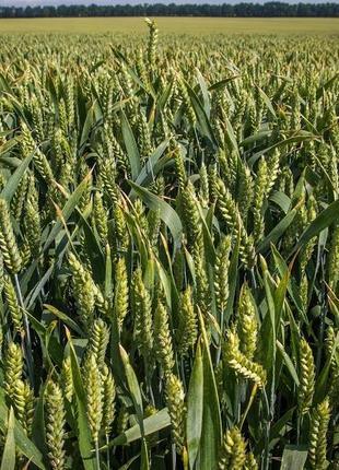 Новосмуглянка потенційна врожайність сорту 100 ц/га.