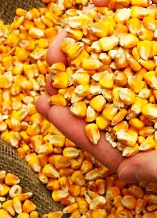 Кукурудза, зерно кукурудзи свіже сухе