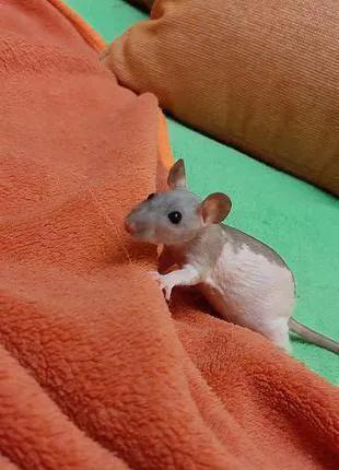 Крыса сфинкс дамбо