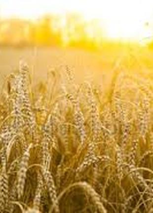 Озимая пшеница Полтавская селекция Яровит